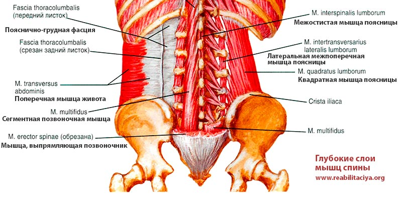 Квадратная мышца поясницы m. quadratus lumborum