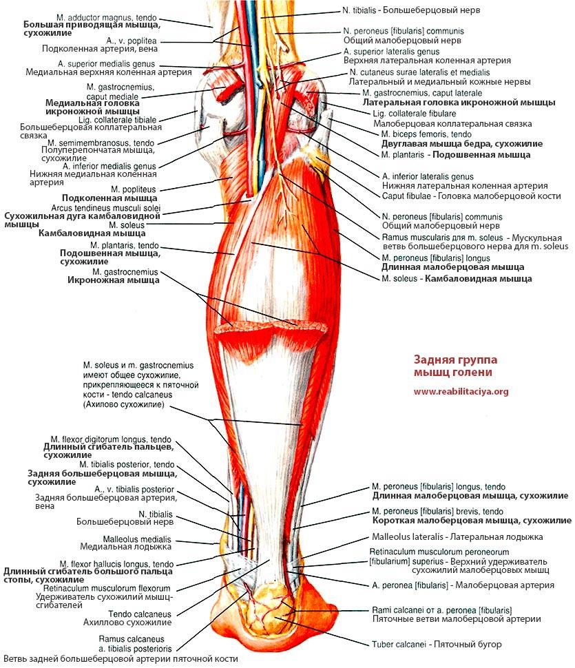 Икроножная мышца почему так называется